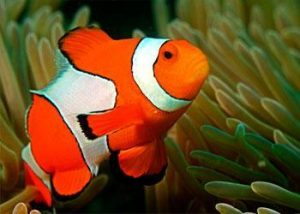 nemo-clown-fish-diving-burma
